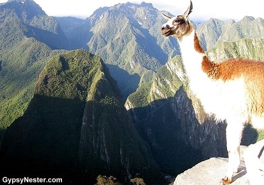 Pensive llama at Machu Picchu