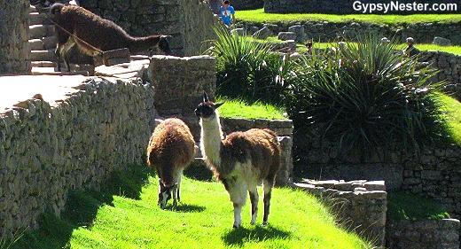 Machu Picchu llamas!
