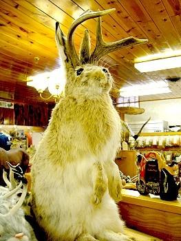 Jackaloupe, a horned bunny?