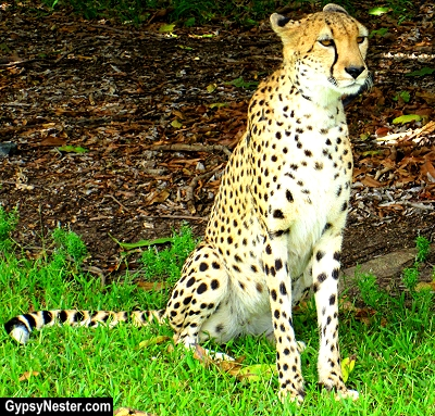 Beautiful cheetah at Australia Zoo, Queensland