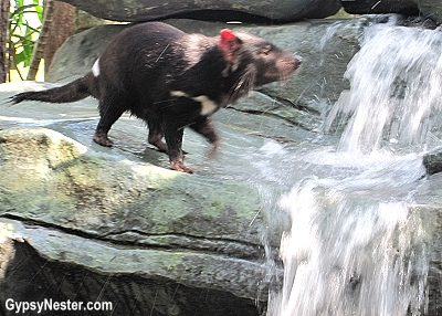 A Tasmanian devil at the Australia Zoo, Queensland