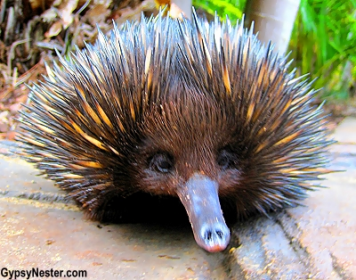 Cute little echidna at the Australia Zoo in Queensland