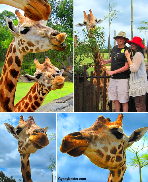 Feeding giraffes at Australia Zoo, Queensland