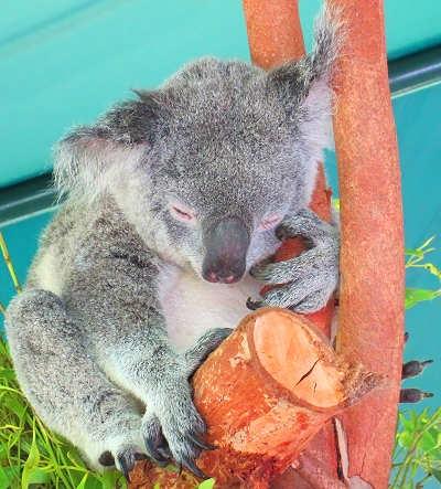 A cute sleeping koala at the Australia Zoo in Queensland! GypsyNester.com