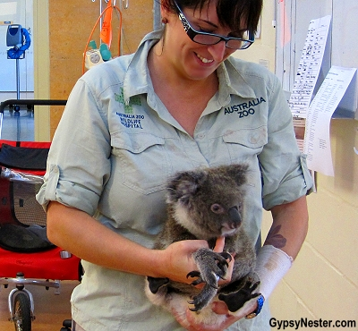 A rescued koala at Australia Zoo Wildlife Hospital, Queensland
