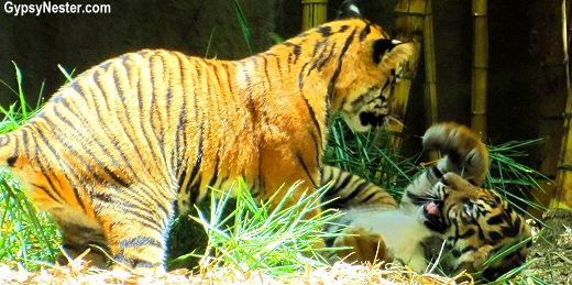 Tiger cubs playing at the Australia Zoo in Queensland!
