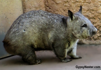 A wombat at the Australia Zoo in Queensland