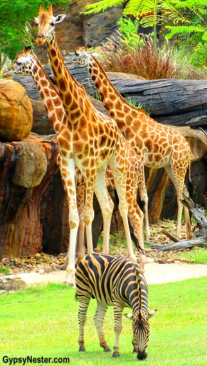 Giraffes and zebras roam the African Safari exhibit at Steve Irwin's Australia Zoo in Queensland