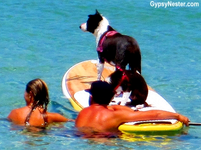 Surfing dogs in Caloundra, Queensland, Australia