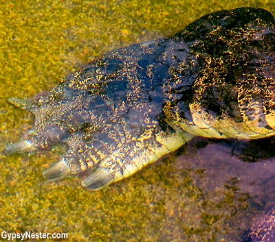 A crocodile foot at Dreamworld, Gold Coast, Queensland, Australia
