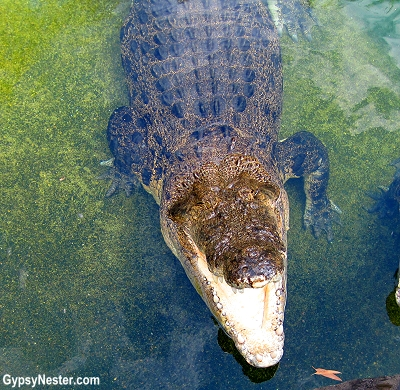 Crocodile waiting to eat us at Dreamworld, Gold Coast, Queensland, Australia