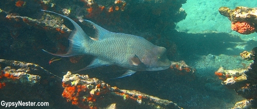 Hog fish, Galapagos Islands
