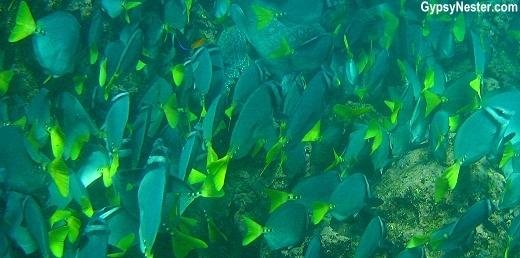 Razor Fish, Galapagos