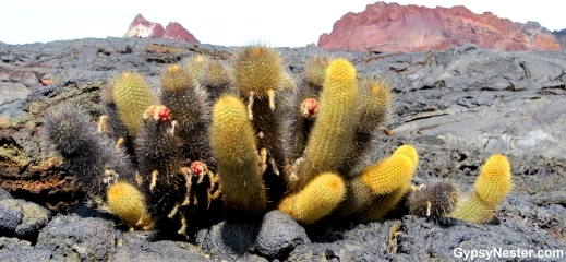 Cactus grows among the lava flows on Santiago Islands, Galapagos, Ecuador