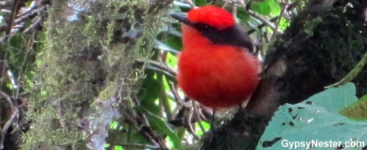 Vermillion Flycatcher of the Galapagos