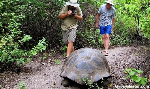 Galápagos Giant Tortoise on Isabela's Urbina Bay
