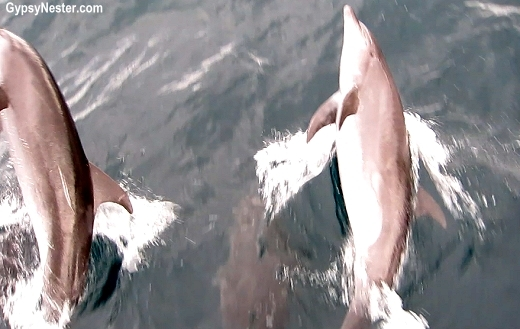 Dolphins jumping in the pressure wave of the Yolita II in the Galapagos