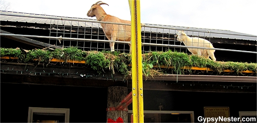 Goats on the Roof, Helen, Georgia