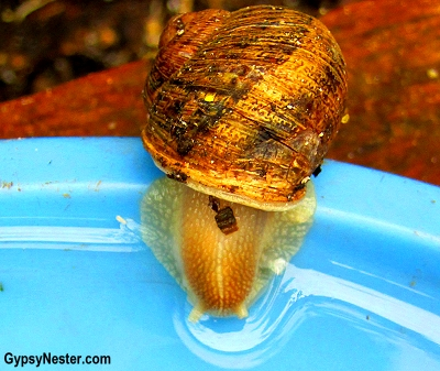 A snail takes a drink of water at Glasshouse Gourmet Snails in the Hinterlands of Queensland, Australia