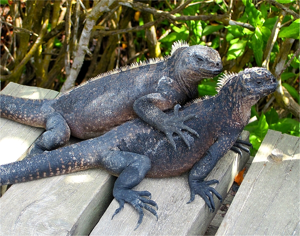 Hugging Iguanas in the Galapagos