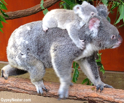 A baby koala rides his mommy's back at the Lone Pine Koala Sanctuary in Brisbane, Queensland, Australia