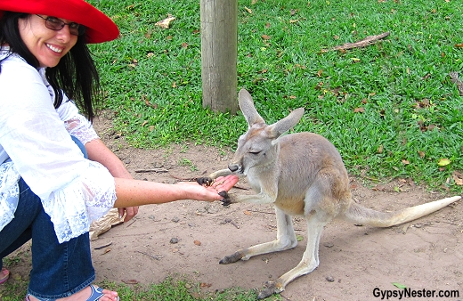 Veronica hand feeds a kangaroo at the Lone Pine Koala Sanctuary in Brisbane, Queensland, Australia