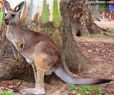 A kangaroo at the Lone Pine Koala Sanctuary in Brisbane, Queensland, Australia