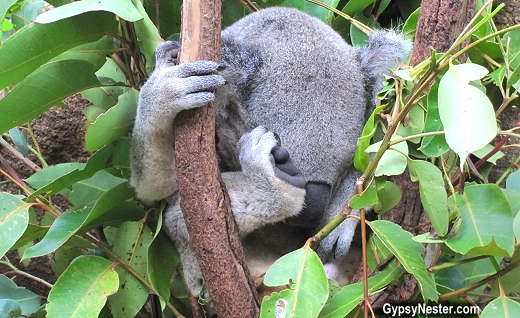 A koala sleeps high in a tree at the Lone Pine Koala Sanctuary in Brisbane, Queensland, Australia