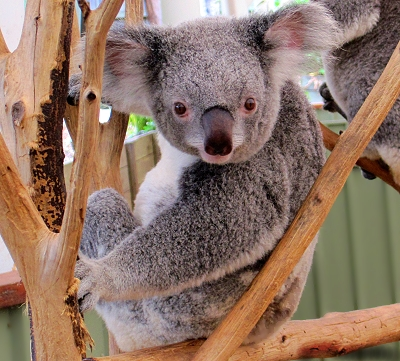 Adorable koala at the Lone Pine Koala Sanctuary in Brisbane, Queensland, Australia