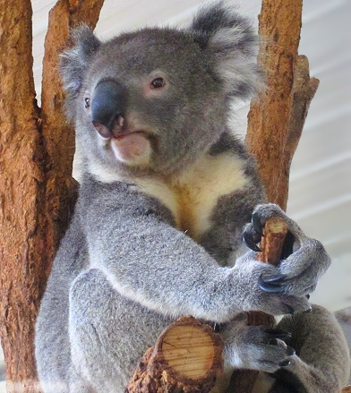 A beautiful koala at the Lone Pine Koala Sanctuary in Brisbane, Queensland, Australia