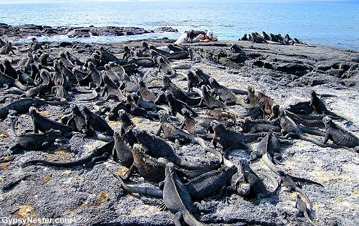 Marine Iguana Sun Worship in the Galapagos Islands