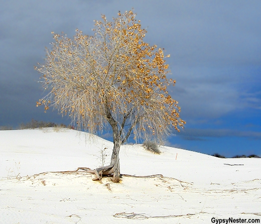 Lone tree at White Sands National Monument in New Mexico