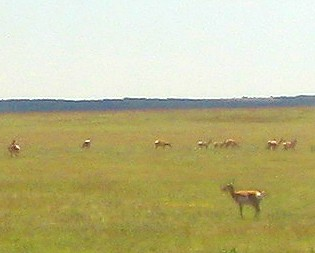 Antelope playing outside our window on the Southwest Chief!