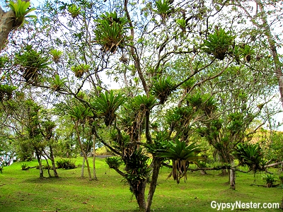 The most air plant-laden trees we've ever seen in Costa Rica
