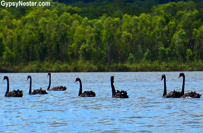 Black swans in the Australian Everglades