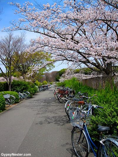 Cherry blossoms in Osaka, Japan!
