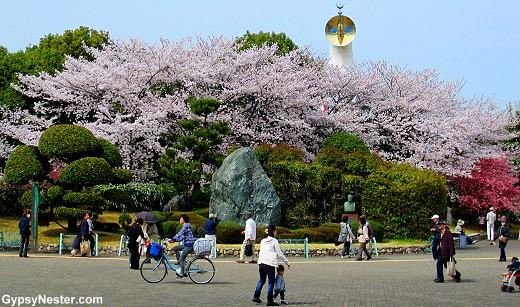 Cherry Blossoms in Expo Park, Osaka, Japan