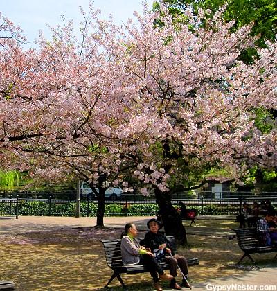 Cherry Blossoms flower outside of Nagasaki's Atomic Bomb Museum