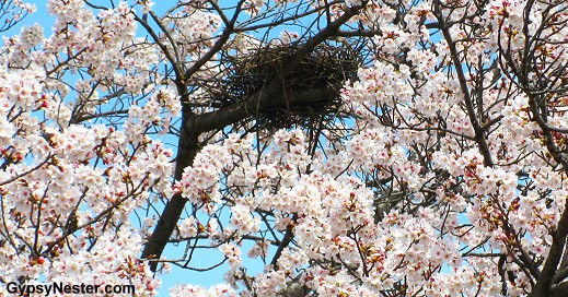A bird's nest among the cherry blossoms in Osaka, Japan