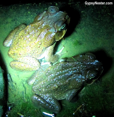 Toads in Costa Rica