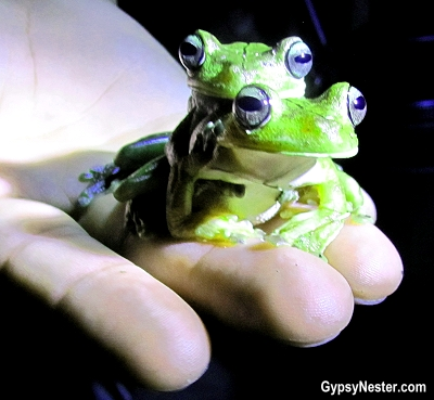 Amorous tree frogs in Costa Rica