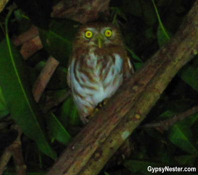 A screech owl in Costa Rica