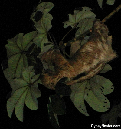 A sloth in Costa Rica at night