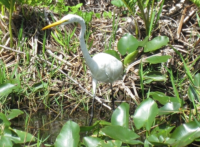 Egret in the Everglades