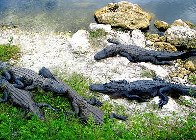 Florida Everglades Alligators