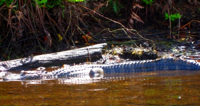 Alligator sunning itself