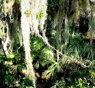 Spanish Moss and Palms