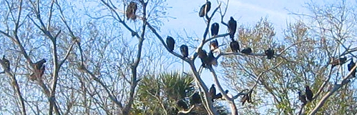 Vultures. Hundreds of buzzards!