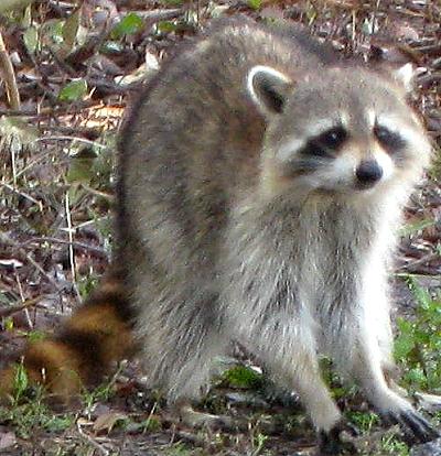Raccoons!