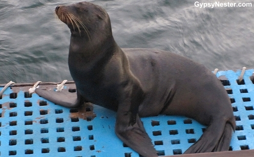 A sea lion hitched a ride on Yolita in the Galapagos